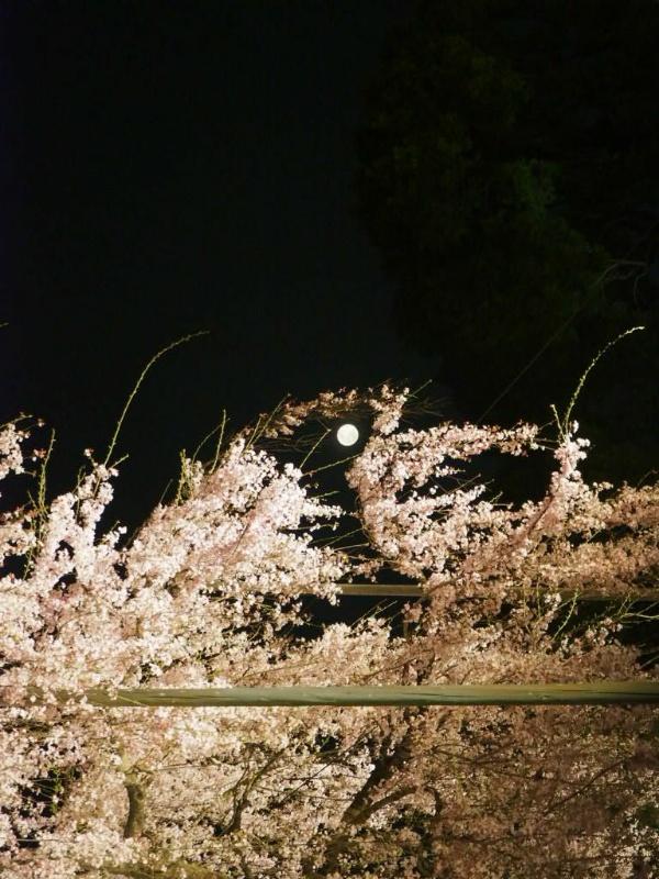 東寺ライトアップ夜桜は3月末が見ごろ令和3年は1200年ぶり早桜【京都桜名所】